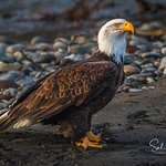 Eagle Taking break after a long day hunting down the Nooksack River. Canon 7D Mark II Tamron 150-600mm f/5-6.3 lens Hand held on monopad
