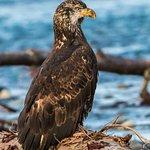 Juvenile Bald Eagle, Watching Papa and Mama Hunting Skills Canon 7D Mark II Tamron 150-600mm f/5-6.3 lens Hand held on monopod