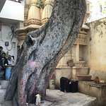 400 year old tree at the back of the restaurant