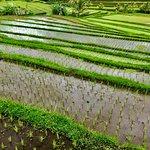 Photo of Jatiluwih Green Land