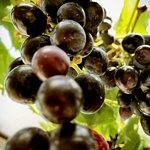 Druiven van eigen bodem