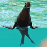 Californian Sea lion during one of the live shows.