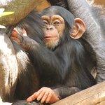 Baby chimpanzee.