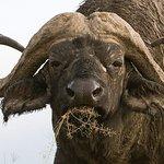 Lake Nakuru National Park - Buffalo