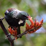 Tui drinking nectar from a harakeke flower.