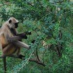 Monkey, Ranthambore