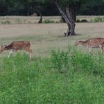 Spotted Deer, Ranthambore