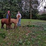 Amazing alpaccas