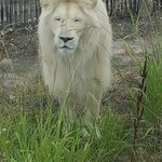 Awesome lion