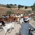 Fun cycling amongst the goats.