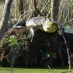 Upclose to a wild gator