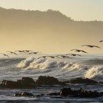 Pelicans in Santa Teresa