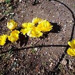 高崎市染料植物園 2月になると南向きの斜面に福寿草が咲き始める