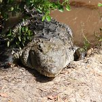 rescued American croc on property