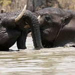 Elephants in Shire River