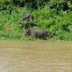 Pygmy elephants on the Kinabatangan River