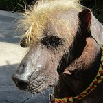 One of the hairless mexican dogs