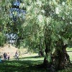 alberi enormi, molto vecchi