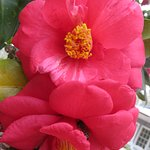 I had to stop for flower pix, with camelia season in full bloom