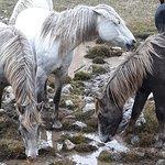 Wild Horses in Livno