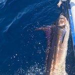 Striped marlin release
