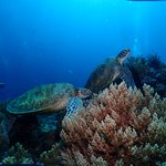 Sea Turtles in Balicasag