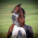 Livno Wildhorses