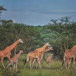 Lake Mburo NP has a lot of giraffes! They are doing very well in the park, with a lot of young ones! Great to see!