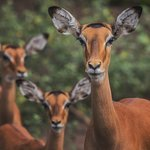 You will find many Impalas in this park and sometimes even close to your tent.