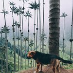 Dog and the wax palms