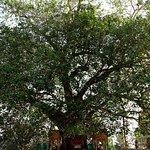 Bodhi Tree.