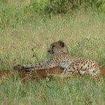Cheetah relaxing!