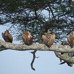 Vultures waiting....