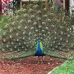 Peacock on anchor