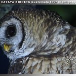 CAYAYA BIRDING tour highlights 2019: Fulvous Owl in the highlands of Guatemala.