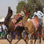 Camel race, cattle fair, Nagaur
