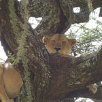 Amazing to see lions in trees!