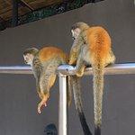 Marauding monkeys at the pool.