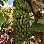 Madeira Banana Experience