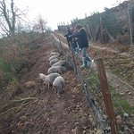 Organic Autochthonous Breed Pigs Experience