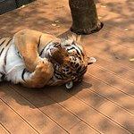 Big tiger snuggled up sleeping