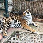 "Beautiful ""medium sized"" tiger"