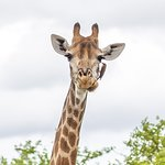 Giraffe and an Oxpecker on it's face.