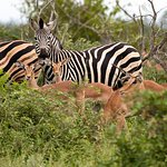 Zebra and Impala.