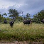 Buffalo herd.