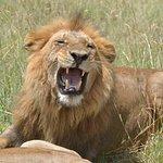 León en luna de miel en Masai Mara