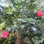 Fliget hibiscus