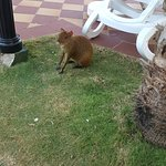 These Mexican Agoutis are running around the resort.  Funny to watch.