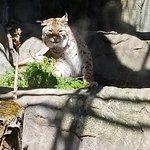 A Lynx...I think