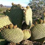 Beavertail Cactus with early Spring Buds